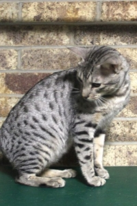 Ocicat-King-Rebel-IMG_1