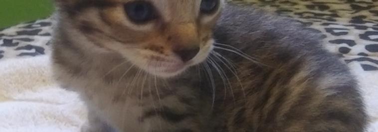 5F SBT Savannah Kittens born April 9, 2019