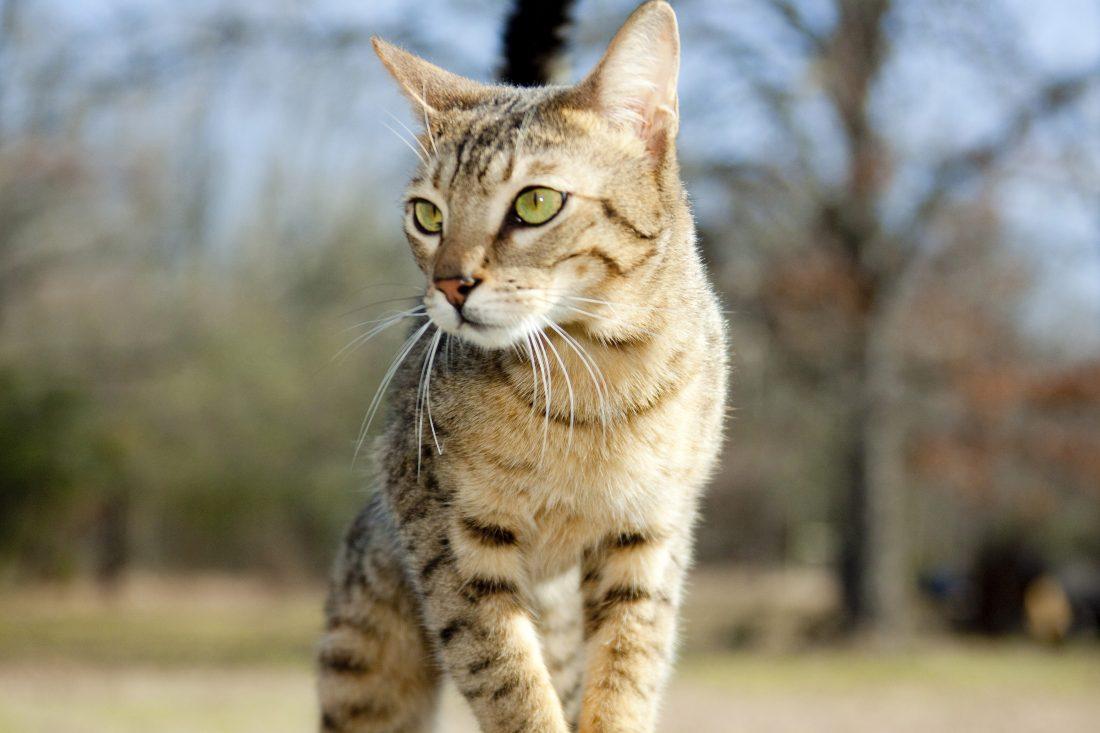 Savannah Kittens & Ocicats For Sale Oklahoma | KezKatz Cattery
