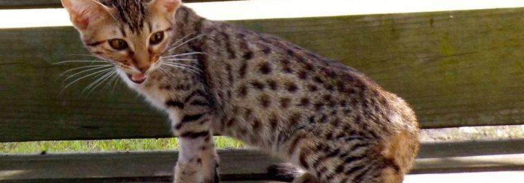 Kela-Rebel Female Ocicat kitten