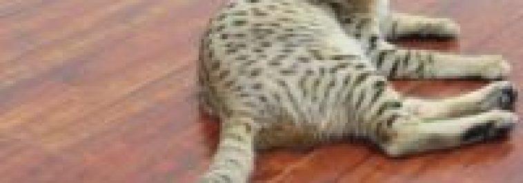 4F SBT Savannah Kittens Due April 2019
