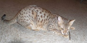Is Gum Disease In Savannah Cats Genetic?