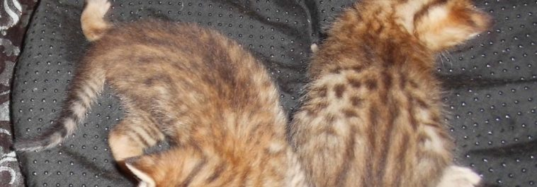 5F SBT Savannah Kittens Due April 5, 2019