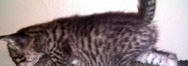 4F SBT Savannah Male Kitten2