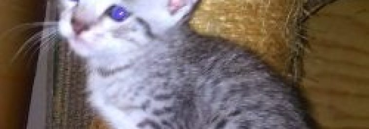 Silver Egyptian Mau Kittens