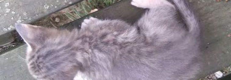 Lavender Ocicat Male Kitten